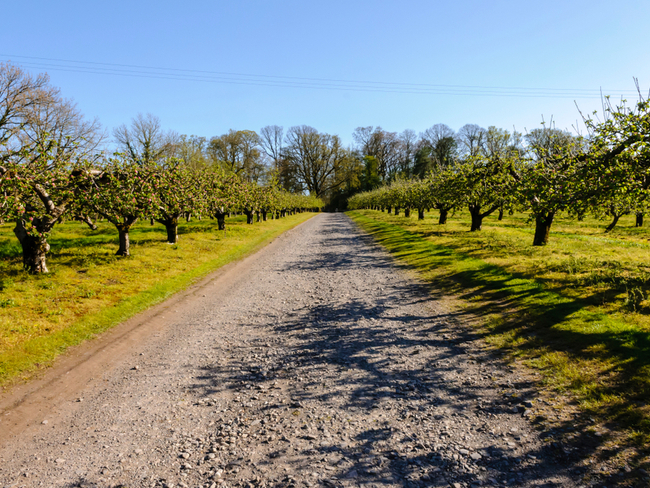 Avenue of apple trees.