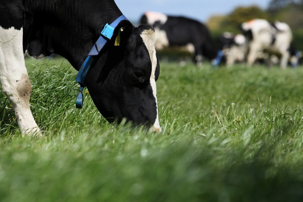 Dairy cow eating grass.